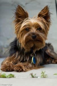 Yorkshire Terrier Chien Et Chiot